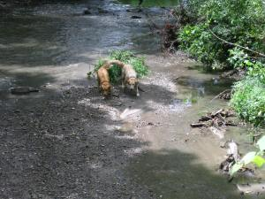 1 Yr and 7 Yr Old Dogs Play Fetch in Creek