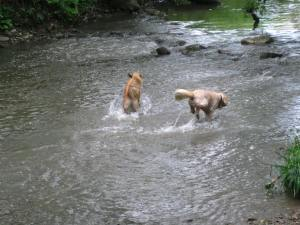 Dogs Fetch Large Stick From Water