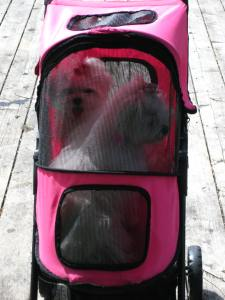 2 Small Dogs With Leg Ailments Beat The Heat In Stroller